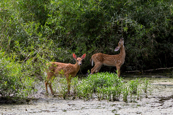 Baby deer eating at Killbuck Wetlands over the summer.<br /> <br /> Photographer's Name: Ruby Northcutt<br /> Photographer's City and State: Anderson, Ind.