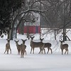 Ran into these beauties one snowy morning at work!<br /> <br /> Photographer's Name: Tiffany JimZac Hair Co.<br /> Photographer's City and State: Anderson, Ind.