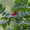 A male American cardinal at Killbuck Wetlands.<br /> <br /> Photographer's Name: Ruby Northcutt<br /> Photographer's City and State: Anderson, Ind.