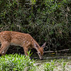 Baby deer taking a drink at Killbuck Wetlands over the summer.<br /> <br /> Photographer's Name: Ruby Northcutt<br /> Photographer's City and State: Anderson, Ind.