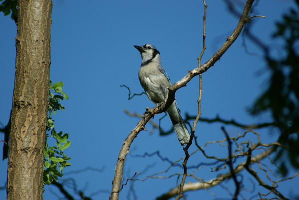 Only blue jay seen here in 2014.<br /> <br /> Photographer's Name: Alan Christenson<br /> Photographer's City and State: Chesterfield, Ind.
