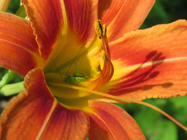 A close-in look at a day lily along the banks of White River at Mounds State Park. Notice the little green visitor inside.<br /> <br /> Photographer's Name: Jerry Byard<br /> Photographer's City and State: Anderson, Ind.