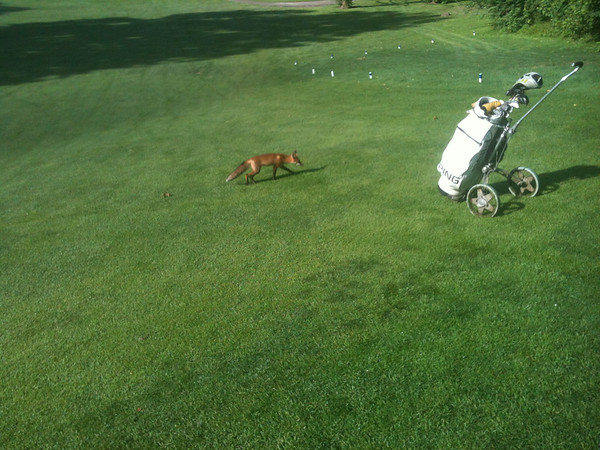 A fox at Grandview Golf Course in Anderson.<br /> <br /> Photographer's Name: Rick Snelson<br /> Photographer's City and State: Anderson, Ind.