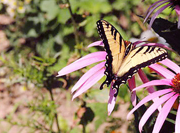 Marietta Lutz of Anderson photographed this Swallowtail butterfly in her back yard.