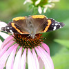 Marietta Lutz of Anderson photographed a Red Admiral butterfly.