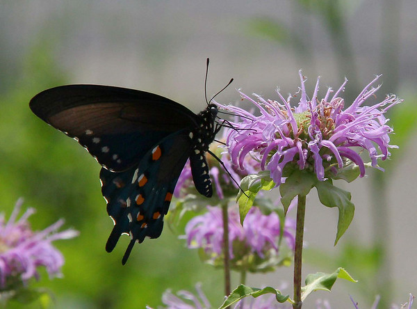 The butterfly garden at Mounds State Park has a wonderful group of flowers as well as butterflies and bees.<br /> <br /> Photographer's Name: Jerry Byard<br /> Photographer's City and State: Anderson, Ind.