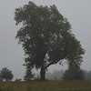 Farm fog  and the big oak tree in Richland Township.<br /> <br /> Photographer's Name: J.R. Rosencrans<br /> Photographer's City and State: Alexandria, Ind.