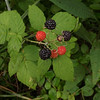 Wild blackberries at my farm in Richland Township.<br /> <br /> Photographer's Name: J.R. Rosencrans<br /> Photographer's City and State: Alexandria, Ind.