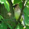 A cedar waxwing, taken at Shadyside Park.<br /> <br /> Photographer's Name: Michael Flowers<br /> Photographer's City and State: Anderson, Ind.