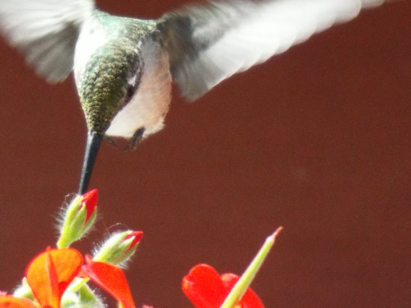 A female ruby throat hummingbird feeding on a geranium in my backyard.<br /> <br /> Photographer's Name: Dennis Kumkowski<br /> Photographer's City and State: Anderson, Ind.