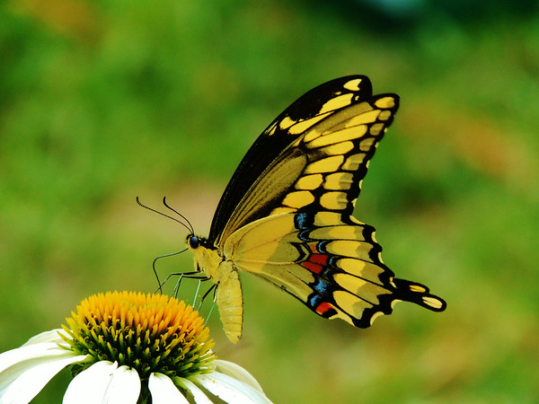 July seems to be a favorite month for swallowtail butterflies in the flower garden.<br /> <br /> Photographer's Name: Sharon Markle<br /> Photographer's City and State: Markleville, IN