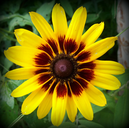 Found this black-eyed Susan blooming in the garden today.<br /> <br /> Photographer's Name: Debra Howell<br /> Photographer's City and State: Pendleton, Ind.