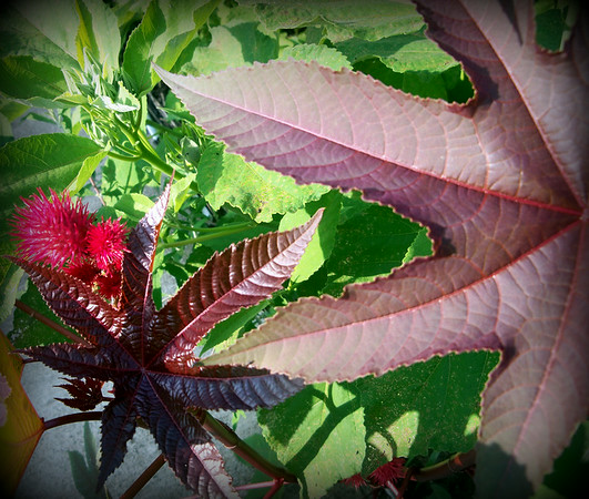 A volunteer castor bean growing in the garden.<br /> <br /> Photographer's Name: Debra Howell<br /> Photographer's City and State: Pendleton, Ind.