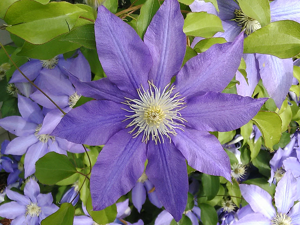 Clematis bloom.<br /> <br /> Photographer's Name: H.A. Pease<br /> Photographer's City and State: Anderson, Ind.