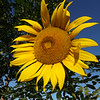 July sunflowers at my farm in Richland Township.<br /> <br /> Photographer's Name: J.R. Rosencrans<br /> Photographer's City and State: Alexandria, Ind.