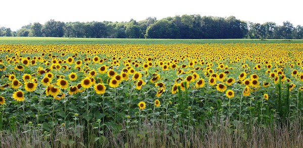 A field of sunflowers in southern Madison County.<br /> <br /> Photographer's Name: Brian Fox<br /> Photographer's City and State: Anderson, Ind.