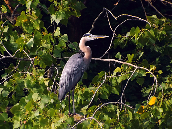 Shadyside blue heron.<br /> <br /> Photographer's Name: J.R. Rosencrans<br /> Photographer's City and State: Alexandria, Ind.