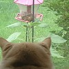You're being watched. Our cat Tinklebell watching Chipper the chipmunk on the bird feeder.  <br /> <br /> Photographer's Name:  <br /> Photographers City and Country: ,