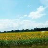 A field of sunflowers south of Pendleton.<br /> <br /> Photographer's Name: Debra Howell<br /> Photographer's City and State: Pendleton, Ind.