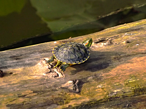 Baby turtle  at my farm pond.<br /> <br /> Photographer's Name: J.R. Rosencrans<br /> Photographer's City and State: Alexandria, Ind.