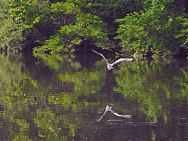 Crane in flight at Shadyside Lake.<br /> <br /> Photographer's Name: J.R. Rosencrans<br /> Photographer's City and State: Alexandria, Ind.