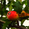 First apple of the season at my farm in Richland Township.<br /> <br /> Photographer's Name: J.R. Rosencrans<br /> Photographer's City and State: Alexandria, Ind.
