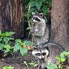 Young raccoons at Pokagon State Park enjoying the bird feeding area.<br /> <br /> Photographer's Name: Jerry Byard<br /> Photographer's City and State: Anderson, Ind.