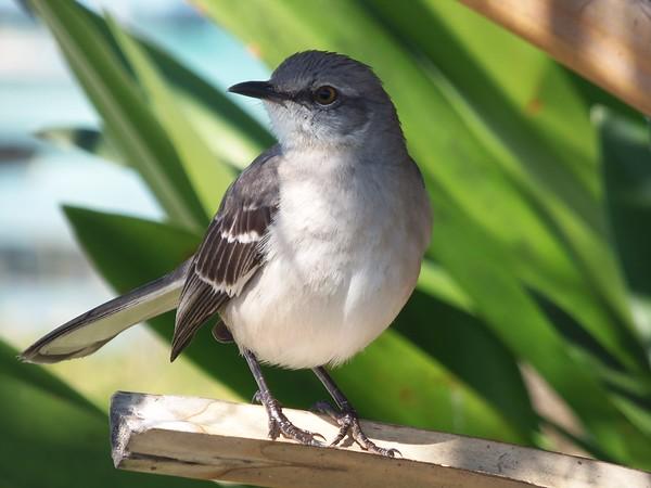 Mockingbird taken at Bahia Honda State Park in the Florida Keys.<br /> <br /> Photographer's Name: H. A. Pease<br /> Photographer's City and State: Anerson, Ind.
