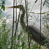 A blue heron hiding from me at Shadyside Lake.<br /> <br /> Photographer's Name: Harry Van Noy<br /> Photographer's City and State: Lafayette Township, Ind.