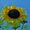 Growing sunflowers for winter bird food at my farm in Richland Township.<br /> <br /> Photographer's Name: J.R. Rosencrans<br /> Photographer's City and State: Alexandria, Ind.