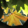 Sunset leaf.<br /> <br /> Photographer's Name: Harry Van Noy<br /> Photographer's City and State: Lafayette Township, Ind.