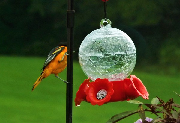 A Baltimore Oriole visiting the feeder at my farm in Richland Township.<br /> <br /> Photographer's Name: J.R. Rosencrans<br /> Photographer's City and State: Alexandria, Ind.