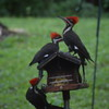 "A father Pileated woodpecker and his two ""babies"" at our feeder Monday morning.<br /> <br /> Photographer's Name: Shari Zimmer Folsom<br /> Photographer's City and State: Chesterfield, Ind."