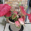 A Florida caladium growing here in Indiana.<br /> <br /> Photographer's Name: Leo Conwell<br /> Photographer's City and State: Anderson, Ind.