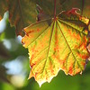 A sunlit leaf.<br /> <br /> Photographer's Name:  <br /> Photographers City and Country: ,