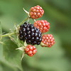 Mid-July in Anderson means ripe blackberries!<br /> <br /> Photographer's Name: Kendra Schlabach<br /> Photographer's City and State: Anderson, Ind.