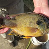 Bluegill caught by neighbor.<br /> <br /> Photographer's Name: Harry Van Noy<br /> Photographer's City and State: Lafayette Township, Ind.