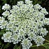 Queen Ann's Lace: the true sign of summer at my farm in Richland Township.<br /> <br /> Photographer's Name: J.R. Rosencrans<br /> Photographer's City and State: Alexandria, Ind.