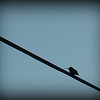 Hummingbird on a wire.<br /> <br /> Photographer's Name: Debra Howell<br /> Photographer's City and State: Pendleton, Ind.