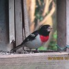 Rose breasted Grosbeak at our feeder earlier this spring.<br /> <br /> Photographer's Name: Leanor Papai<br /> Photographer's City and State: Anderson, Ind.
