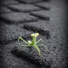 A baby praying mantis<br /> <br /> Photographer's Name: Debra Howell<br /> Photographer's City and State: Pendleton, Ind.