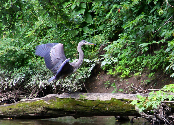A blue heron landing on a log at Mounds Park.<br /> <br /> Photographer's Name: Jerry Byard<br /> Photographer's City and State: Anderson, Ind.