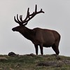 King of the hill: a bull elk at Rocky Mountain National Park.<br /> <br /> Photographer's Name: H. A. Pease<br /> Photographer's City and State: Anderson, Ind.