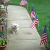 Art Tate shared this photo of their patriotic Shih Tzu, Sedric.<br /> <br /> Photographer's Name: Art Tate<br /> Photographer's City and State: Anderson, Ind.