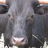 A staring bull.<br /> <br /> Photographer's Name: Harry Van Noy<br /> Photographer's City and State: Lafayette Township, Ind.