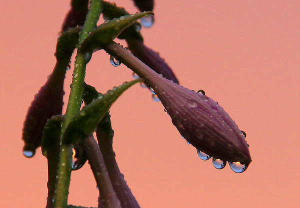 A hasta flower after a heavy rain illuminated by a pink sky sunset.<br /> <br /> Photographer's Name: Jerry Byard<br /> Photographer's City and State: Anderson, Ind.