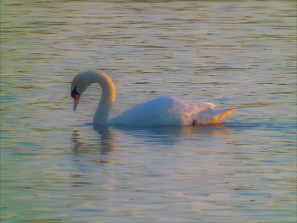 The morning sun touching a swimming swan.<br /> <br /> Photographer's Name: J.R. Rosencrans<br /> Photographer's City and State: Alexandria, Ind.