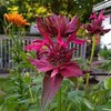 Double bloom bee balm growing in my jungle.<br /> <br /> Photographer's Name: Debra Howell<br /> Photographer's City and State: Pendleton, Ind.