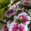 Beautiful dianthus growing in my jungle<br /> <br /> Photographer's Name: Debra Howell<br /> Photographer's City and State: Pendleton, Ind.