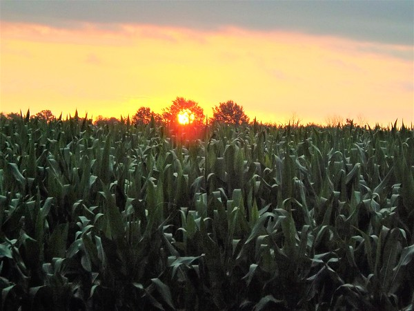 Sun and corn, a perfect match.<br /> <br /> Photographer's Name: J.R. Rosencrans<br /> Photographer's City and State: Alexandria, Ind.